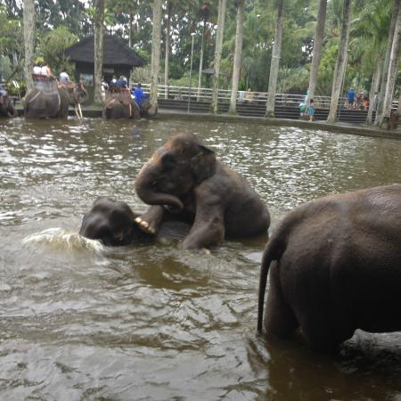 Tegalalang, Indonesia: Mums and baby elephant playing in the water only inches from us