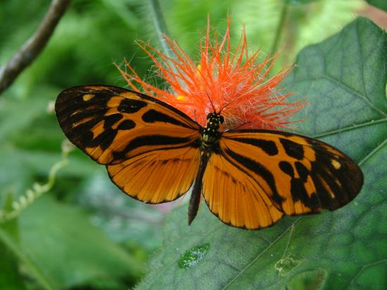 Puerto Maldonado, Peru: Heliconius numata. Orange long wings feeding on Gurania flowers