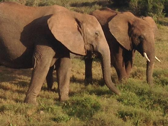 Addo Elephant National Park, Sydafrika: Elephants what more can i say