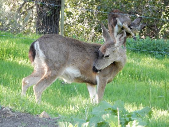 Black tailed deer in Alum Rock Park