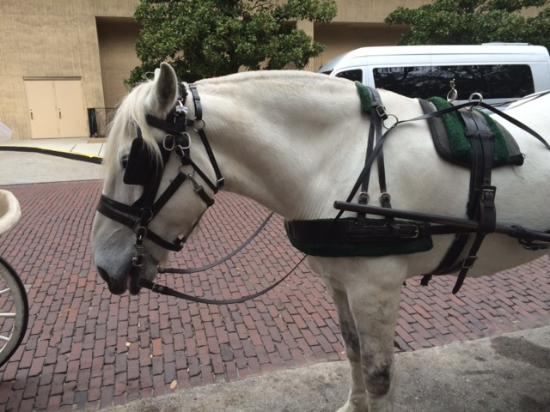Historic Savannah Carriage Tours : Pepper, listening intently