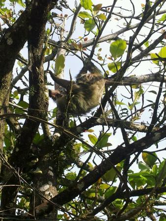 sloth in  his  natural habitat