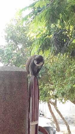 Busua Inn: Miss Monkey, the smooth criminal!