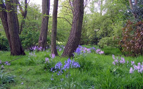 Middlethorpe Hall Restaurant: bluebells in park