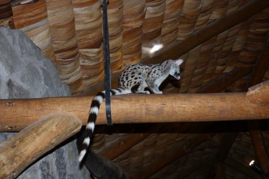Ndutu Safari Lodge: Genet in the dining area of the hotel