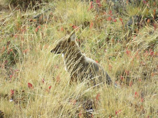 Safari Experience - Patagonia Profunda: Zorrito gris