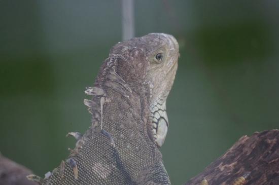 Calusa Nature Center and Planetarium : Iguana