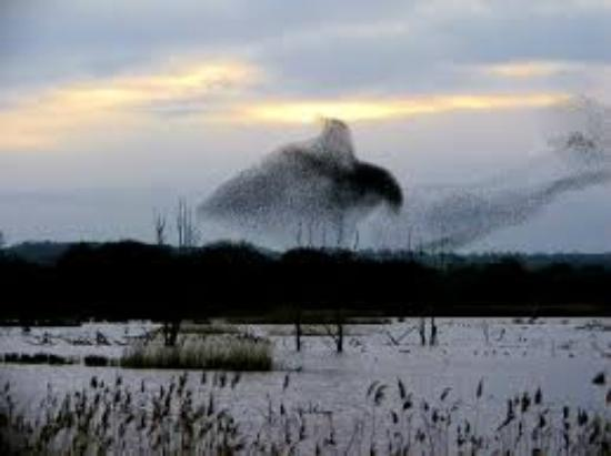 Somerset Levels and Moors Wetland: Starling murmuration