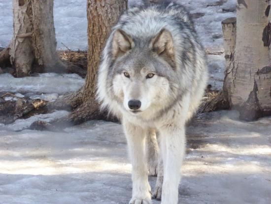 timber wolf picture of colorado wolf and wildlife center divide