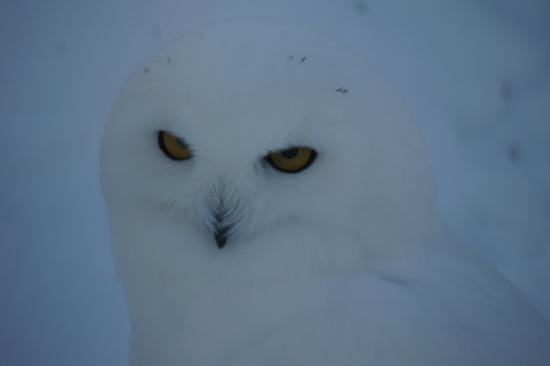 Zoo Ecomuseum : Snow Owl