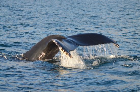 Baltimore Sea Safari : Humpback diving just off Baltimore (3 miles out)