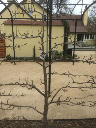 Forestville, CA: Fuji apple tree - trellised as wine vine