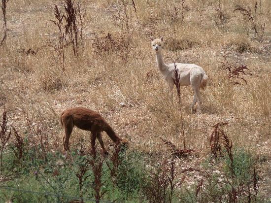 Balingup Jalbrook Cottages: Alpacas from deck