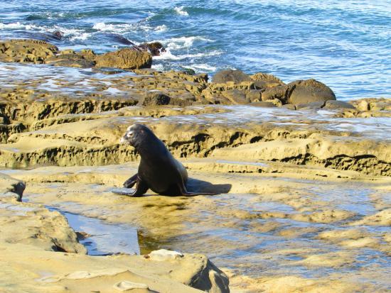 Shell Beach Tide Pools Uma Foca Fotogênica Apareceu