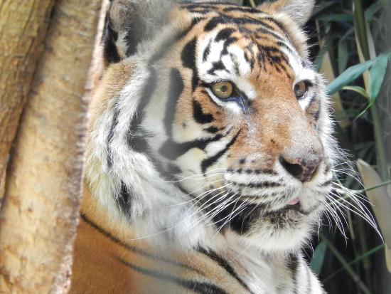 Batemans Bay Manor - Bed and Breakfast: Sumatran Tiger at Mogo Zoo