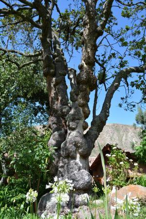 Lucuma Tree