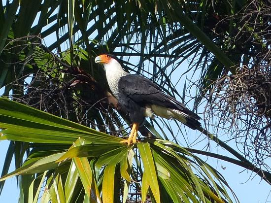 Wilson Botanical Garden: Crested Caracara