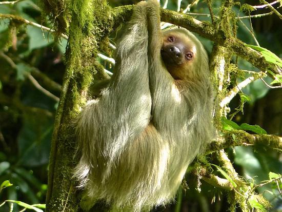 Wilson Botanical Garden: Sloth