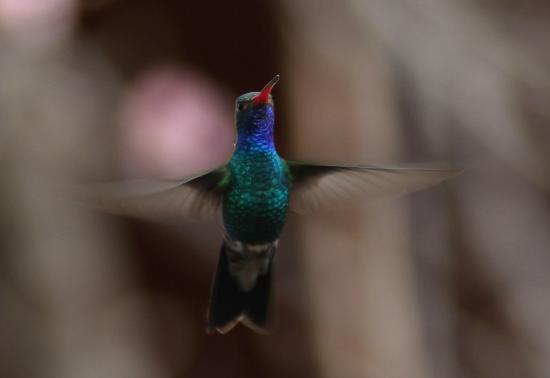 Chuparosa Inn Bed and Breakfast: This is just one of many hummingbird species that show up to the feeders