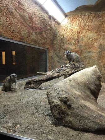 Boonshoft Museum of Discovery: Meerkats