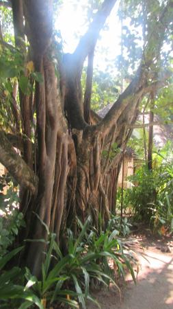 Madoogali Tourist Resort: The big tree