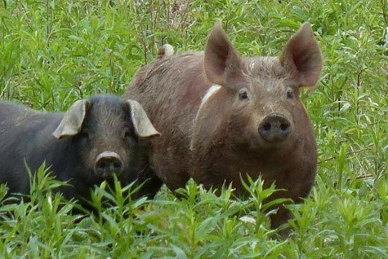 Sayre, เพนซิลเวเนีย: Windstone Landing Farm pastured pork. The source of our nitrate free ground pork & bacon