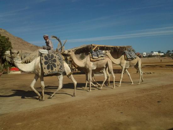 Dahab Divers South Sinai Hotel & Dive center: Camels