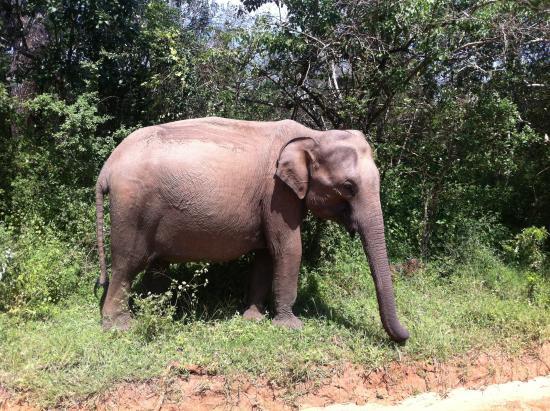 JC Guesthouse : Dräktig elefantko i Yala