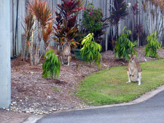 Marlin Cove Holiday Resort: Wallabies on the grounds