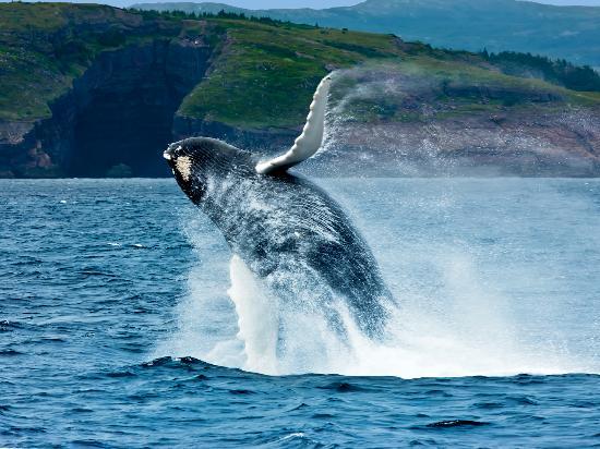 Newfoundland and Labrador, Canada: Breaching Whale