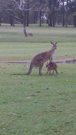 Mareeba, Australia: Mummy and her Joey