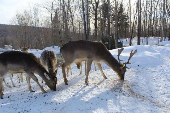 L'Ange-Gardien, Canada: Daim