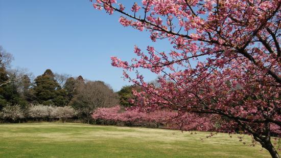 Usui Castle Site: 臼井城の広場、奥は白梅と河津桜