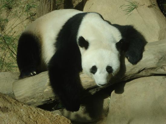 Zoo Negara: panda