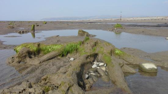 Ceredigion, UK: Submerged forest at low tide