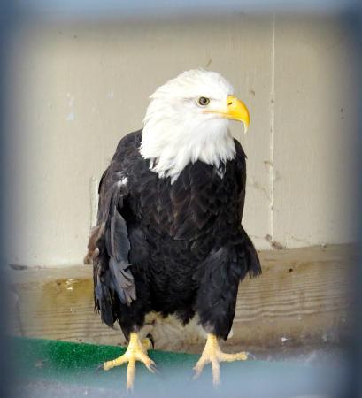 Petersburg, PA: Bald Eagle