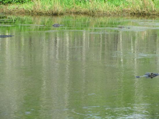 Everglades City, FL: More gators