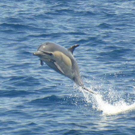 Dana Point, Kalifornia: Common Dolphin