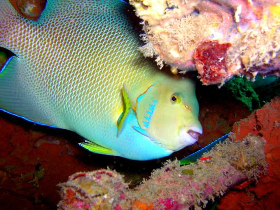 Dive Clearwater: a blue angelfish at the Sheridan