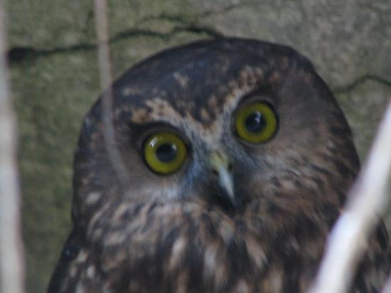 Eatery On The Rock Restaurant: A morepork that was along the walkway to the restaurant.