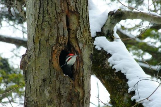 Baltimore Woods Nature Center Trails: Piliated Woodpecker