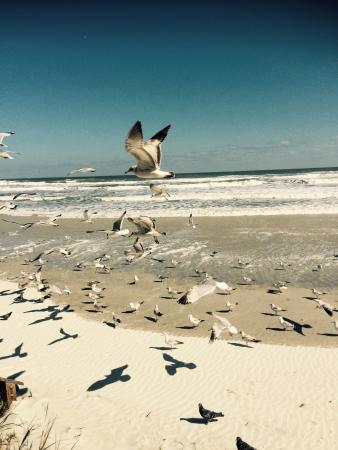 Hilton Daytona Beach Oceanfront Resort: Muitas gaivotas! Elas não permitem que vc mantenha a porta ou janela abertas, pois entram no qua