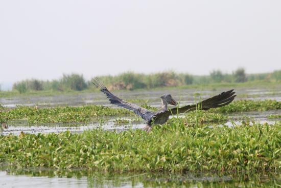 Semliki Safari Lodge: Shoebill spreading wings