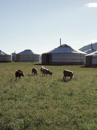 Jalman Meadows Wilderness Camp: Goats in front of the dining ger (the largest, in the center), with the library ger to the left