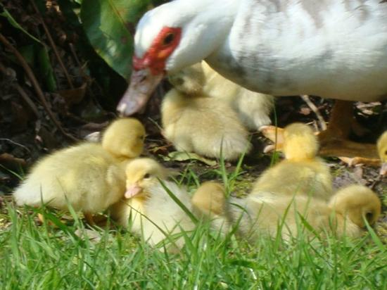 we keep Muscovy ducks - Picture of Watermill Cottages