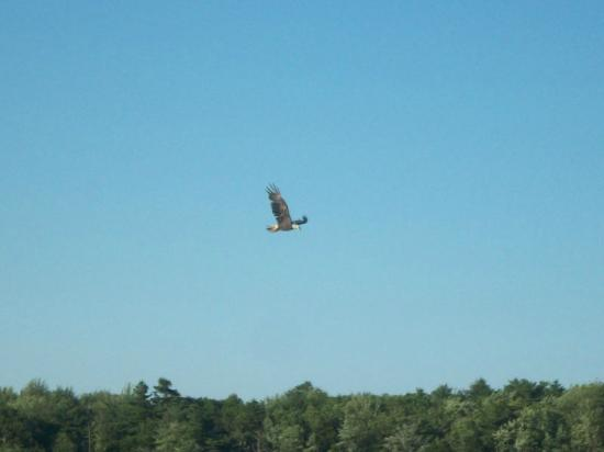 Sebago Trails Paddling Company : Eagle in flight over Dundee Pond