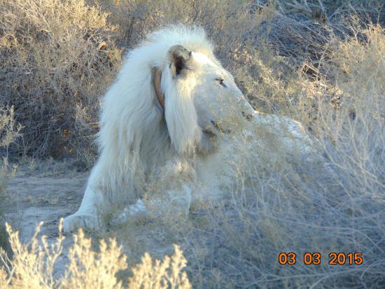 White Lion Lodge: Male White Lion