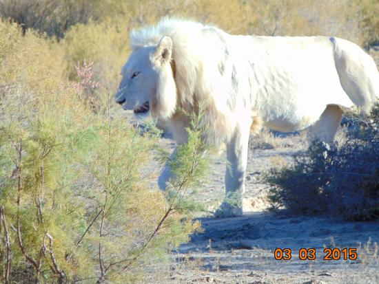 White Lion Lodge: Male White Lion