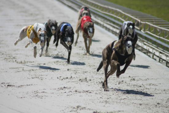 Daytona Beach Kennel Club Greyhounds