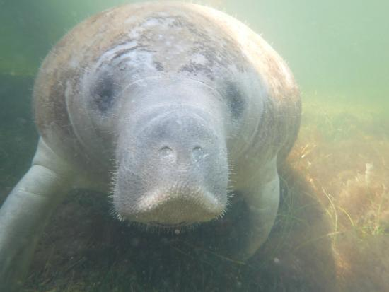 Key Lime Sailing Club and Cottages : Neighborly manatee who visited KLSC dock when we were snorkeling